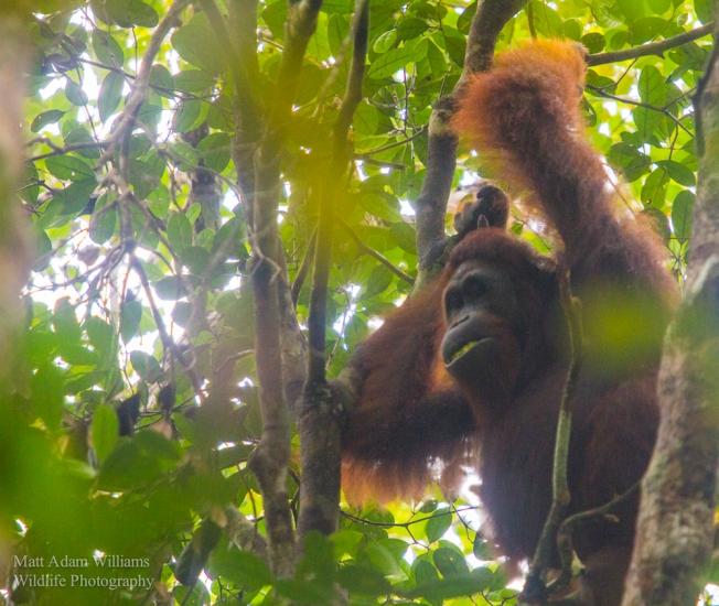 Orangutan_foret