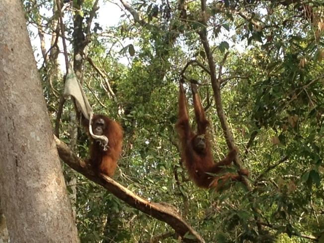 Orangutan_Titiaan
