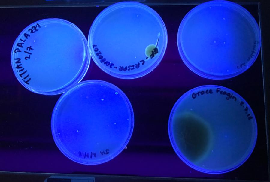 Petri_Dishes_CRISPR